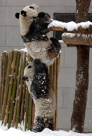 Clever_pandas_helping_each_other_to
